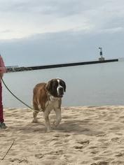 Saint Bernard Puppy For Sale in KALEVA, MI, USA