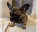 Small #14 French Bulldog