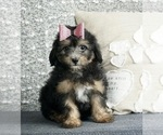 Puppy 7 Poodle (Toy)-Yorkshire Terrier Mix