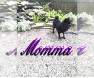 Mother of the Pomeranian puppies born on 09/29/2020