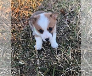 Pembroke Welsh Corgi Puppy for Sale in ORONOGO, Missouri USA