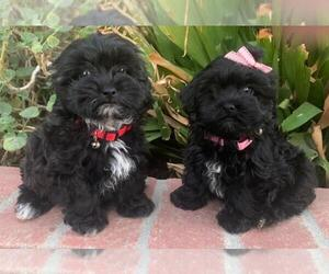 Maltipoo Puppy for sale in TEMECULA, CA, USA