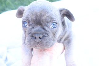 French Bulldog Puppy For Sale in GRANADA HILLS, CA
