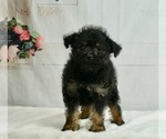 Puppy 3 Poodle (Toy)-Yorkshire Terrier Mix
