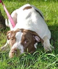 Hailey - German Shorthaired Pointer / American Staffordshire Terrier / Mixed (short coat) Dog For Adoption