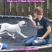 Small Photo #172 Dogo Argentino Puppy For Sale in PINEVILLE, MO, USA