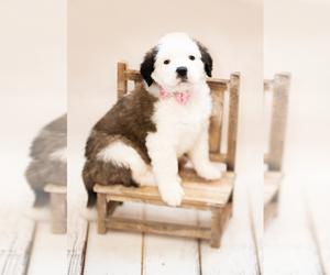 Saint Bernard Puppy for sale in MORENCI, AZ, USA