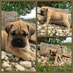 Cane Corso Puppy For Sale in DELAWARE, OH