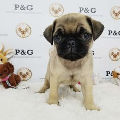 Pug Puppy for sale in TEMPLE CITY, CA, USA