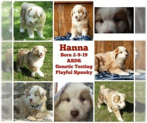 Australian Shepherd Puppy for sale in CLEBURNE, TX, USA