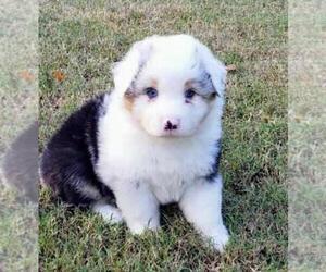 Australian Shepherd Puppy for sale in HEMBY, NC, USA