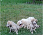 Small #2 Great Pyrenees