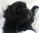 Lhasa Apso Puppy For Sale in ROCK HILL, SC, USA
