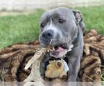 Small #33 American Staffordshire Terrier