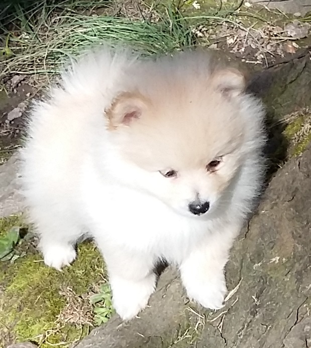 pomeranian rescue oregon view ad pomeranian puppy for sale near oregon 8210