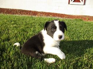 Puppyfindercom Border Collie Puppies For Sale Near Me In Mc