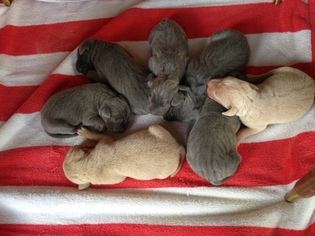 Blue Lacy Puppy For Sale in TYLER, TX