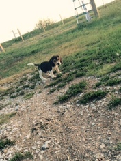 Beagle Puppy For Sale in SARONVILLE, NE