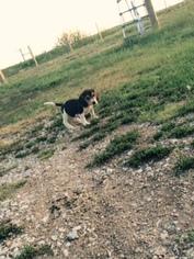Beagle Puppy For Sale in SARONVILLE, NE, USA