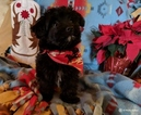 Papi-Poo-Unknown Mix Puppy For Sale in FREWSBURG, NY, USA