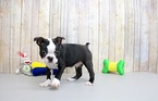 Boston Terrier Puppy For Sale in PORTSMOUTH, OH, USA