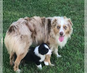 Father of the Australian Shepherd puppies born on 04/11/2021