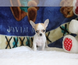 Chihuahua Puppy for sale in LONG ISLAND CITY, NY, USA