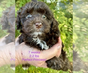 Poodle (Toy)-Yorkshire Terrier Mix Puppy for Sale in GEORGETOWN, Texas USA