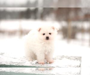 Miniature American Eskimo Puppy for sale in DARBY, MT, USA