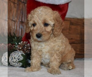 Cavapoo-Poodle (Miniature) Mix Puppy for sale in NEWPORT, PA, USA