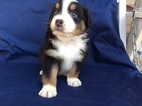 Australian Shepherd Puppy For Sale in MILO, MO