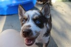 Siberian Husky Puppy For Sale in VIRGINIA BEACH, VA, USA