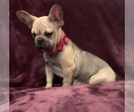 French Bulldog Puppy For Sale in HUSON, MT, USA