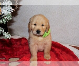Golden Retriever Puppy for Sale in COLUMBUS, Ohio USA