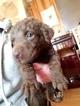 Chesapeake Bay Retriever Puppy For Sale in CASEY, IA, USA