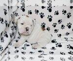 Small #3 English Bulldog