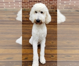 Father of the Goldendoodle-Poodle (Standard) Mix puppies born on 03/21/2020