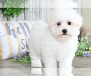 Bichon Frise Puppy for Sale in MOUNT VERNON, Ohio USA