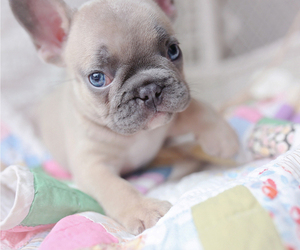 French Bulldog Puppy for Sale in DAVIE, Florida USA
