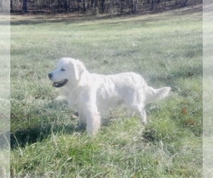 Father of the English Cream Golden Retriever puppies born on 10/22/2020