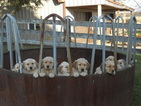 Golden Retriever Puppy For Sale in HOLMESVILLE, OH, USA