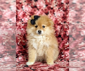 Pomeranian Puppy for sale in LINCOLN UNIV, PA, USA