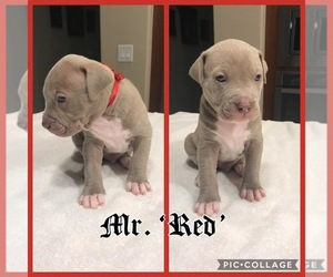 American Pit Bull Terrier Puppy for sale in SURPRISE, AZ, USA