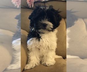 Coton de Tulear Puppy for sale in WINNSBORO, TX, USA