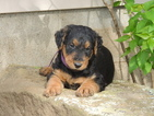 Airedale Terrier Puppy For Sale in WASHINGTON, WV