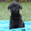 Cane Corso-Poodle (Standard) Mix Puppy For Sale in GAP, PA, USA