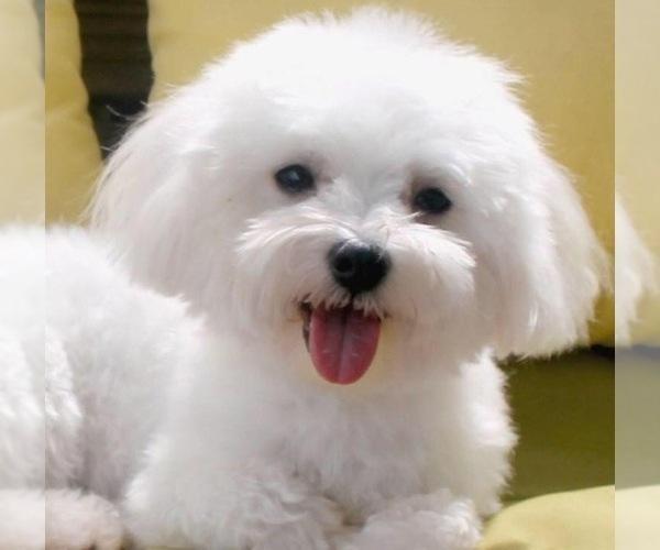 Medium Photo #4 Maltipoo Puppy For Sale in EMIT, NC, USA