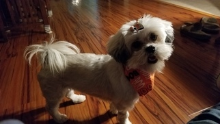Lhasa Apso Dog for Adoption in PLACERVILLE, California USA