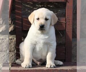Labrador Retriever Puppy for sale in FREDERICKSBG, OH, USA