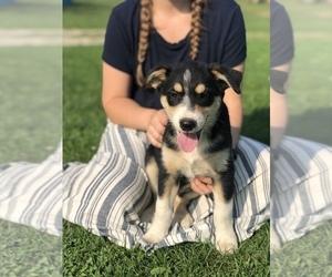 Border-Aussie Puppy for Sale in ASHLAND, Ohio USA
